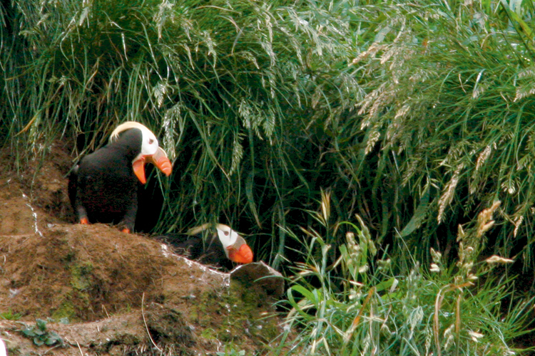 Colorful Tufted Puffins nest and rear their young on Haystack Rock in Cannon Beach each Spring.