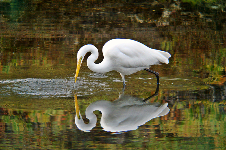 An egret reflects on his beautiful home in the rich coastal wetlands of Oregon.