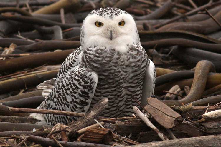 Snowy Owl photographed at Fort Stevens State Park near Astoria, Oregon.