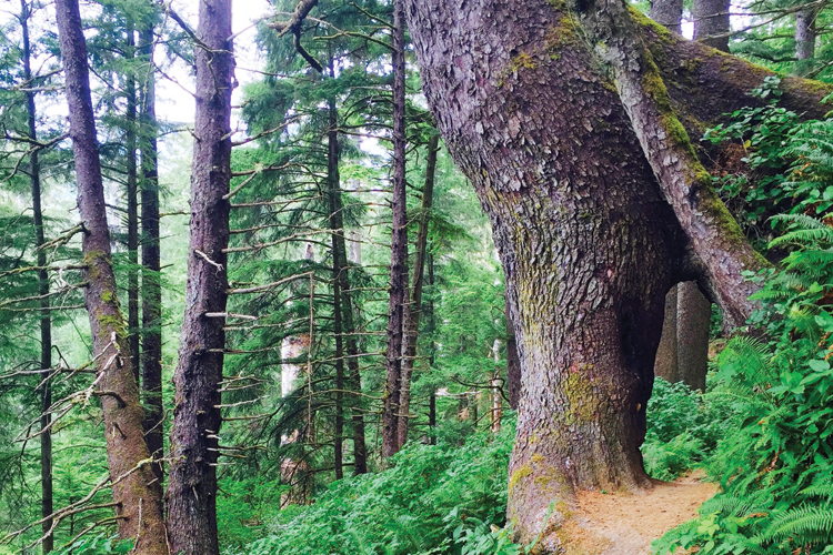 A Sitka Spruce tree flanks the trail at Oswald West State Park