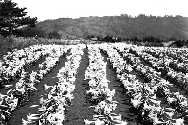 A field of Easter lilies growing near Brookings, Oregon