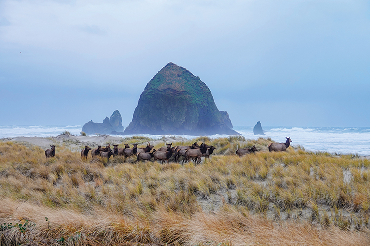 Roosevelt Elk at Haystack Rock in Cannon Beach