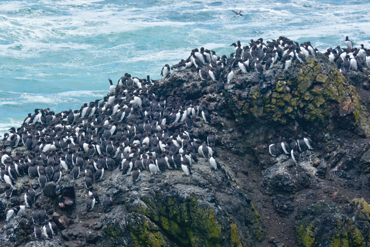 Common Murre colony at Yaquina Head