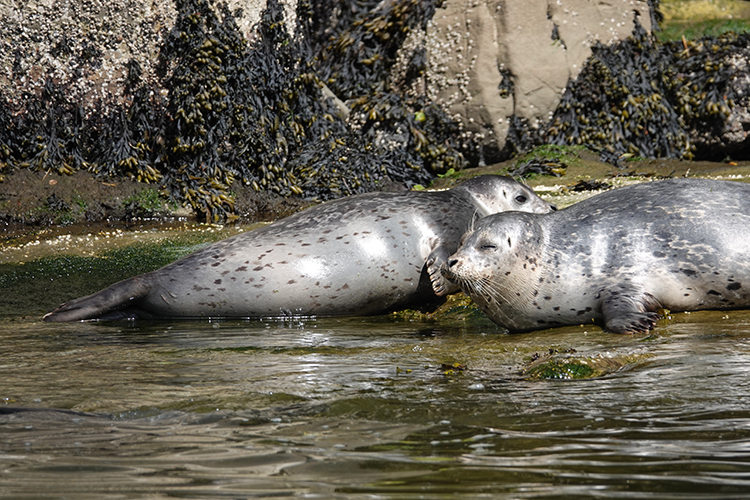 Harbor Seals at Depoe Bay. (Photo by Beth Wise)