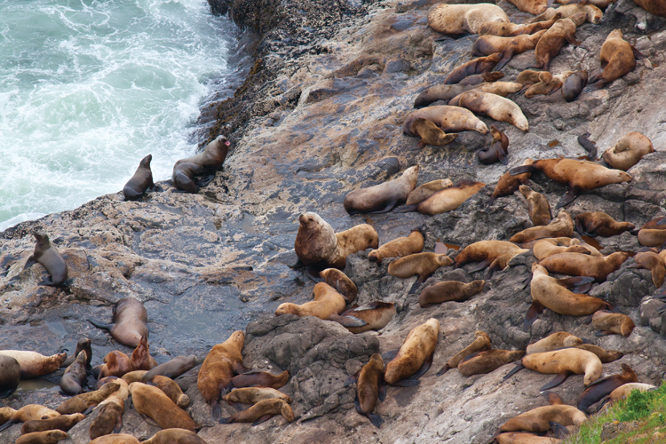 Sea Lions at Sea Lion Caves near Florence, Oregon
