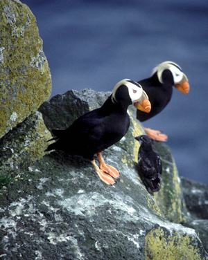 Tufted Puffins (Fratercula cirrhata) are sometimes referred to as clowns of the sea because of their prominent features: white face, thick orange bill and dramatic eyebrow tufts.