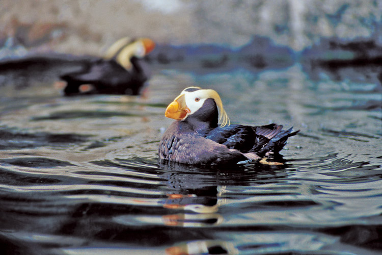 Puffin Pageantry At Haystack Rock In
