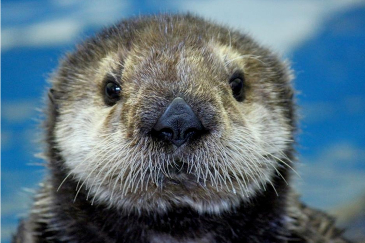 Mojo, a rescued sea otter pup now lives at the Oregon Coast Aquarium.