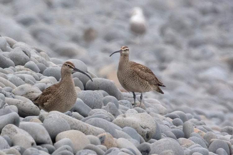 One of the most wide-ranging shorebirds in the world, Whimbrels breed in the arctic and migrate south for the winter. Some Whimbrels make a non-stop flight of 2500 miles from Canada to South America.