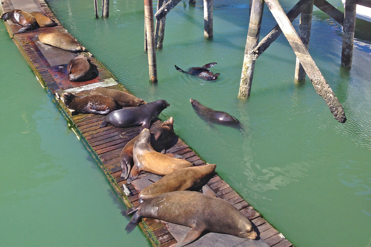 Sea Lions on the dock at the Bayfront in Newport, Oregon