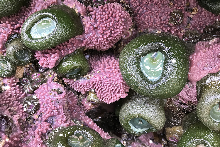 Giant Green Anemone and Purple Encrusting Sponge