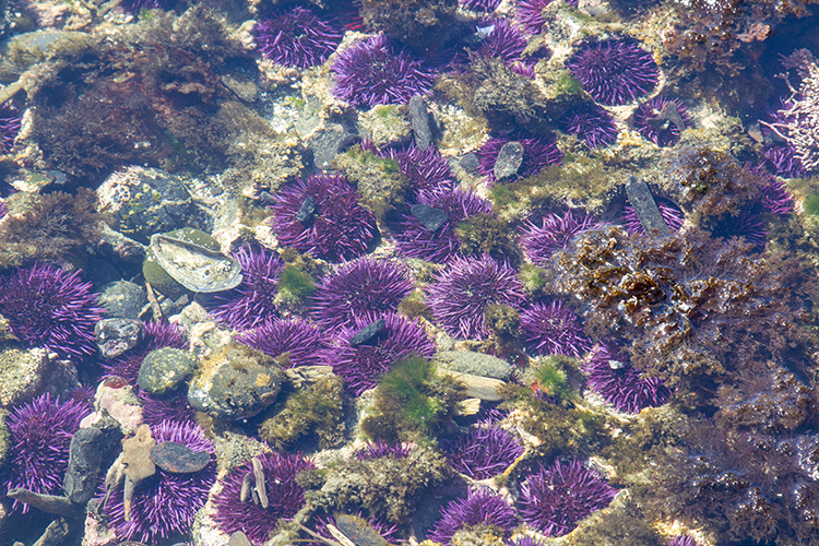 Pacific Purple Sea Urchin