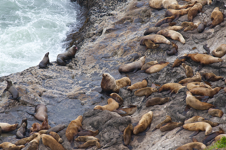 Steller Sea Lions on rocky haul out below Sea Lion Caves near Florence.