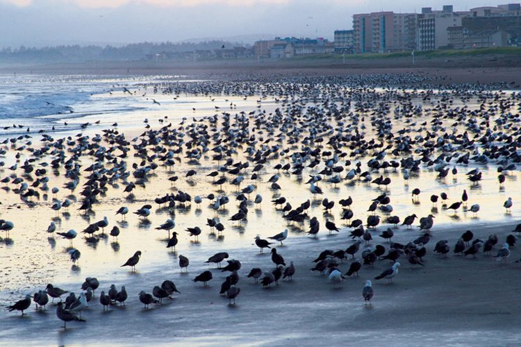 Fall brings shorebird migrations to Seaside.