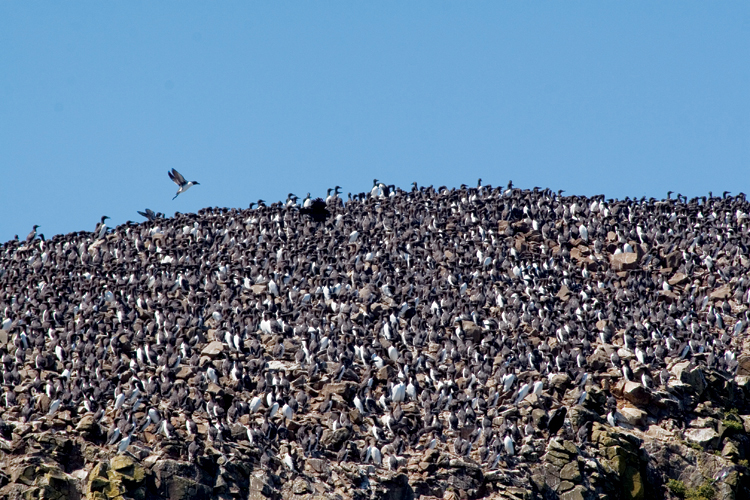 Common Murres Nest Shoulder To Often Covering Nearly Every Flat Surface Of Offs Rocks