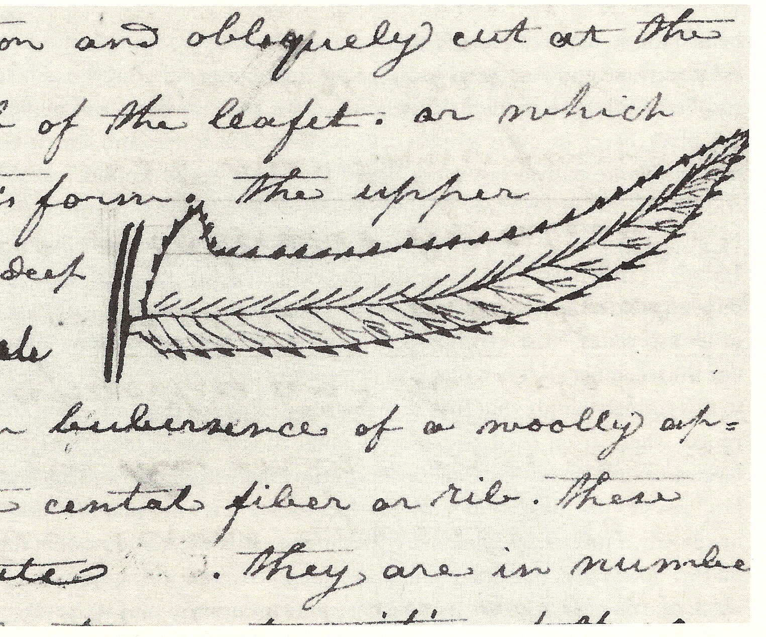 Sword fern leaf sketch from the journal of Captain Meriwether Lewis.